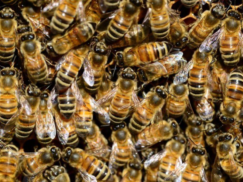 Buckfast-Bees4You